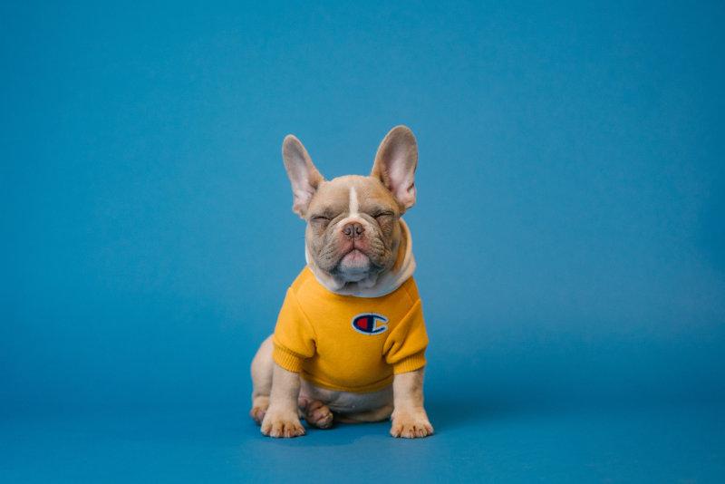 a cute french bulldog on a blue background